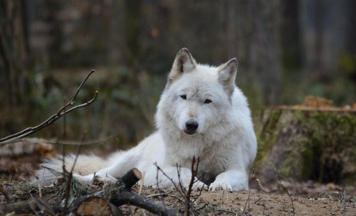 Сибирский тундровый волк